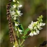Random image: Бяла комунига плод - Melilotus Albus DESeft.