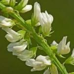Бяла комунига цвят - Melilotus Albus DESeft.