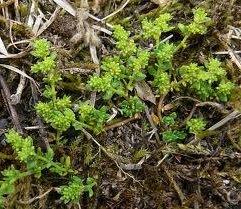 Изсипливче  лечебно растение - Herniaria glabra L.