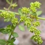 Изсипливче стрък - Herniaria glabra L.