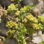 Изсипливче - Herniaria glabra L.