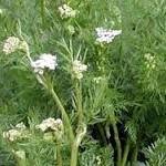 Ким лечебно растение - Carum carvi L.