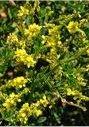 Лечебно растение Жълта комунига - Melilotus officinalis