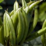 Random image: Орлови нокти плод - Astragalus glycyphyllos