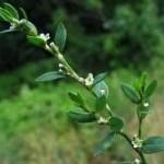 Пача трева билка - Poligonum aviculare L.