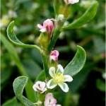 Пача трева лечебно растение - Poligonum aviculare L.