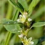 Пача трева стрък - Poligonum aviculare L.