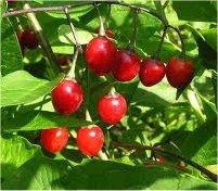 Разводник лечебно растение - (Solanum dulcamara L.)