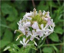 Сапунче лечебно растение - Saponaria officinalis L.