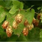 Random image: Хмел лечебно растение - Humulus lupulus L.
