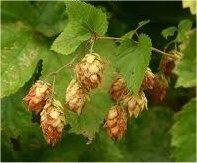 Хмел лечебно растение - Humulus lupulus L.