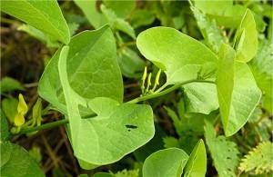 Вълча ябълка обикновена листа - Aristolochia clematitis L.