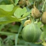 Вълча ябълка обикновена плод - Aristolochia tis L.