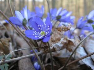 Гълъбови очички стрък - Anemone hepatica