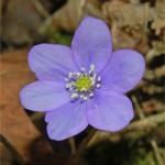 Гълъбови очички цвят - Anemone hepatica