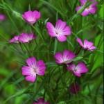 Къклица билка - Agrostemma githago L.