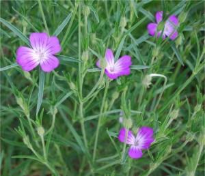 Къклица - Agrostemma githago L.