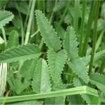 Random image: Лечебна Динка лист - Sanguisorba officinalis L.