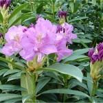 Билка Странджанска зеленика - Rhododendron ponticum L.