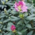 Странджанска зеленика - Rhododendron ponticum L.