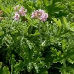 Билка Индрише - Pelargonium roseum