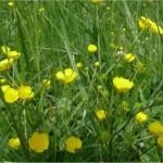 Билка Обикновено лютиче - Ranunculus acris L.