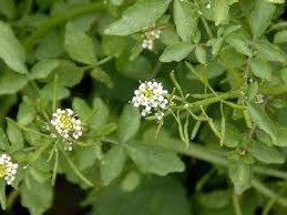 Билка Поточарка - Nasturtium officinalis