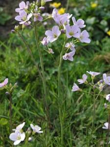 Горва ливадна билка - Cardamine pratensis