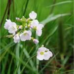 Горва ливадна листа - Cardamine pratensis