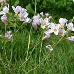 Горва ливадна - Cardamine pratensis