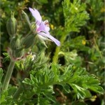 Индрише лист - Pelargonium roseum