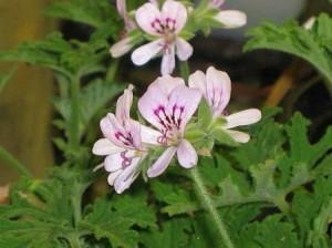 Индрише стрък - Pelargonium roseum
