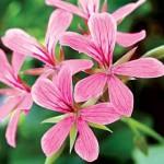 Индрише цвят - Pelargonium roseum