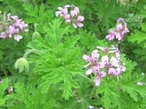 Индрише - Pelargonium roseum