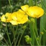 Обикновено лютиче билка - Ranunculus acris L.