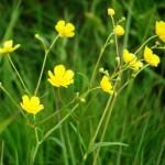 Обикновено лютиче стрък - Ranunculus acris L.