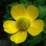 Обикновено лютиче цвят - Ranunculus acris L.