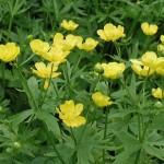 Обикновено лютиче - Ranunculus acris L.
