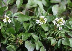 Поточарка билка - Nasturtium officinalis