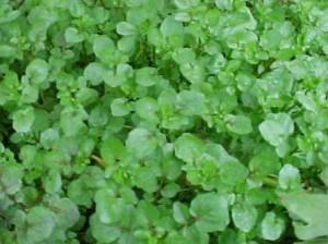 Поточарка листа - Nasturtium officinalis