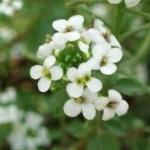Random image: Поточарка цвят Nasturtium officinalis