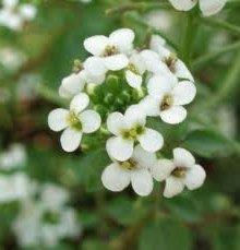 Поточарка цвят Nasturtium officinalis