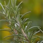 Розмарин - Rosmarinus officinalis. L-стрък