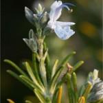 Random image: Розмарин - Rosmarinus officinalis. L-цвят