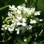 Хрян - Armoracia rusticana L.-билка