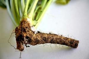 Хрян - Armoracia rusticana L.-корени