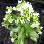 Хрян - Armoracia rusticana L.-цвят