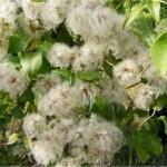Обикновен повет - Clematis vitalba - билка