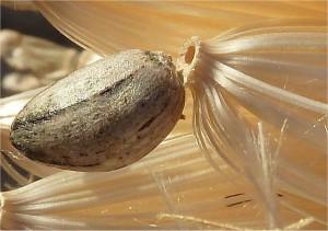 Артишок - Cynara scolymus L.-семена