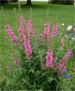 Билка-Обикновена блатия - Lythrum salicaria